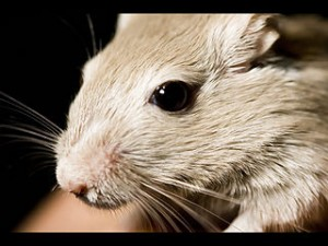 320px-Gerbil_close-up_face