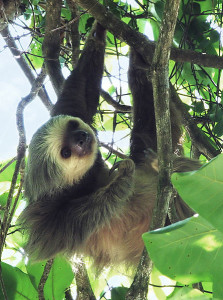 447px-Two-toed_sloth_Costa_Rica_-_cropped