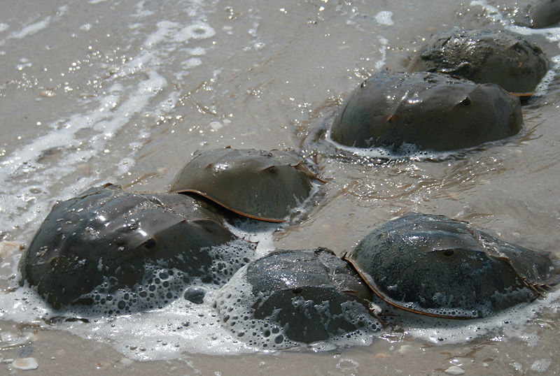 Horseshoe crabs mating in the Delaware Bay of Southern New Jersey, by Asturnut (Own work) [CC BY-SA 3.0 (http://creativecommons.org/licenses/by-sa/3.0/), GFDL (http://www.gnu.org/copyleft/fdl.html)], via Wikipedia