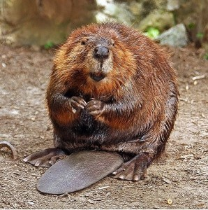 By Steve from washington, dc, usa (American Beaver) [CC-BY-SA-2.0 (http://creativecommons.org/licenses/by-sa/2.0)], via Wikimedia Commons