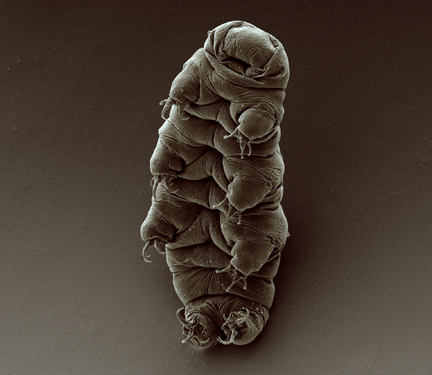 By Goldstein lab - tardigrades (originally posted to Flickr as water bear) [CC-BY-SA-2.0 (http://creativecommons.org/licenses/by-sa/2.0)], via Wikimedia Commons