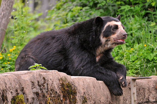 """Lounging spectacled bear"" by Tambako the Jaguar [CC BY-ND 2.0 (https://creativecommons.org/licenses/by-nd/2.0/)], via Flickr"
