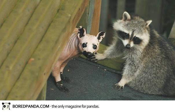 Hairless Raccoon Chupacabra Www Pixshark Com Images