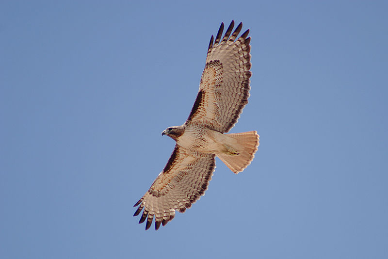 """""""Red-tailed Hawk (Buteo jamaicensis) in flight"""" By Alan Vernon (Flickr: Red-tailed Hawk in flight) [CC BY 2.0 (http://creativecommons.org/licenses/by/2.0)], via Wikimedia Commons"""