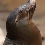 """Sea lion head"" by Alexdi at English Wikipedia [CC BY 3.0 (http://creativecommons.org/licenses/by/3.0)], via Wikimedia Commons"